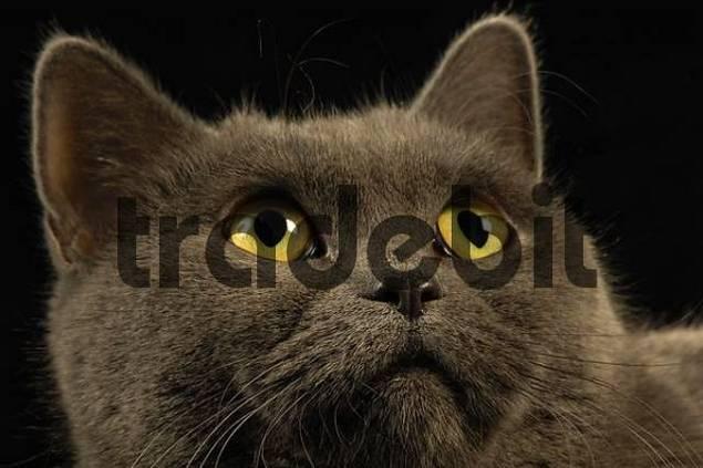 British Shorthair Cat Portrait looking upward