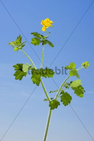 Greater Celandine, Celandine, Rock-poppy, Great Celandine, Greater Celadine, Nipplewort, Swallowwort, Celandine Poppy, Common Celandine, Felonwort, Garden Celandine, Gouwe, Rock Poppy, Swallow Wor
