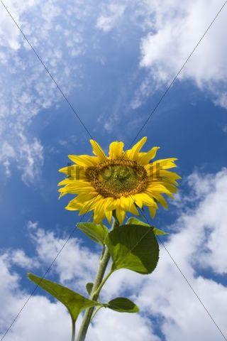 Common Sunflower, Annual Sunflower, Sunflower, Grow Common Sunflower (Helianthus annuus)