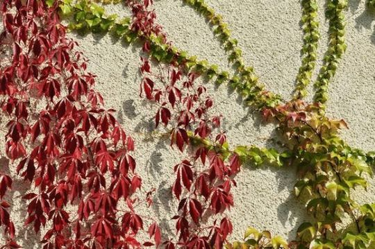 "Virginia creeper or five-leaved ivy (Parthenocissus quinquefolia ""Engelmannii"") and Japanese creeper, Boston ivy, Grape ivy, Japanese ivy (Parthenocissus tricuspidata) on a house wall"