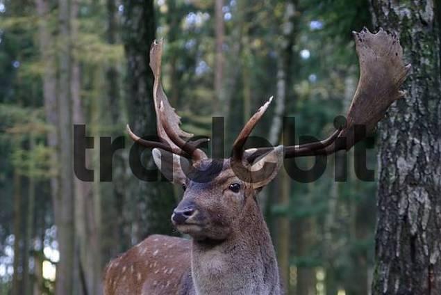 European fallow deer Dama dama dama