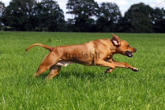 Rhodesian Ridgeback, two year-old male, on the move, running over a meadow