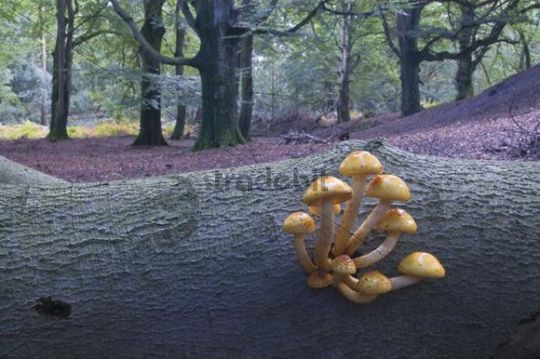 Golden Pholiota (Pholiota aurivella), Tinner Loh, Emsland, Lower Saxony, Germany, Europe