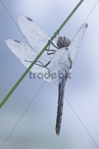 Black Darter or Black Meadowhawk (Sympetrum danae)