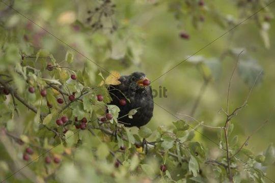Blackbird (Turdus merula), male, sitting in hawthorn bush, feeding on fruits