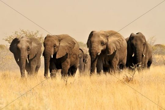 African Bush Elephants (Loxodonta africana) in the high grass of the Etosha National Park, Namibia, Africa