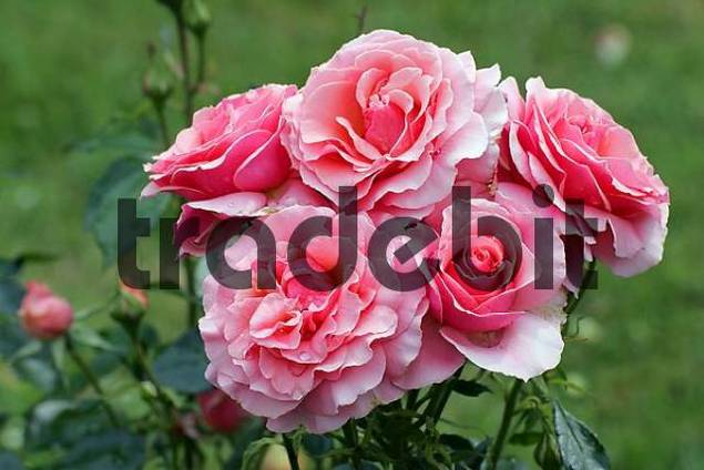 Rose Poesie - Floribunda-Rose Sorte Poesie Rosa Poesie