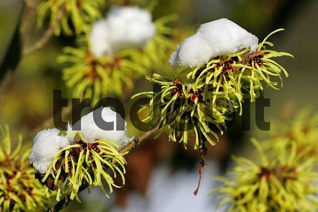 witch hazel Sunburst with snow Hamamelis intermedia Sunburst