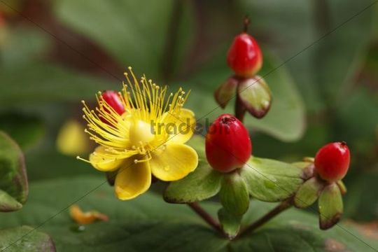 Blossom and berries of Hypericum or St. John´s Wort (Hypericum inodorum, ´Magical Passion´), shrub, garden plant