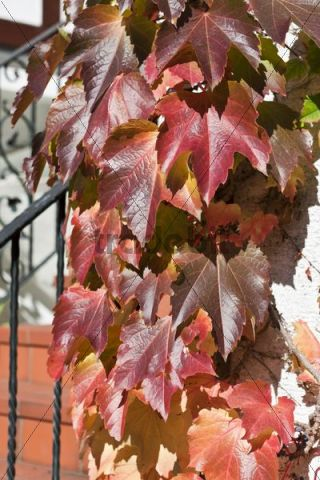 Virginia creeper (Parthenocissus tricuspidata) on a house wall