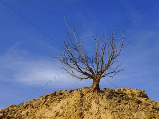Dry tree in Bardenas Reales, Navarre, Spain, Europe