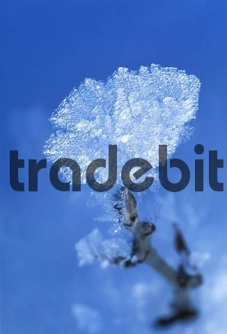 hoar frost crystals on a twig