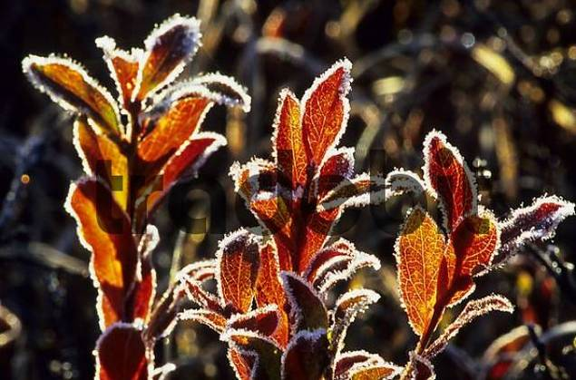 hoar frost crystals on autumnal blueberry bush.