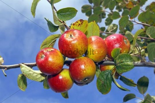 Apple (Malus domestica), Erwin Baur variety, on the tree, Altes Land area, Hamburg, Lower Saxony, Germany