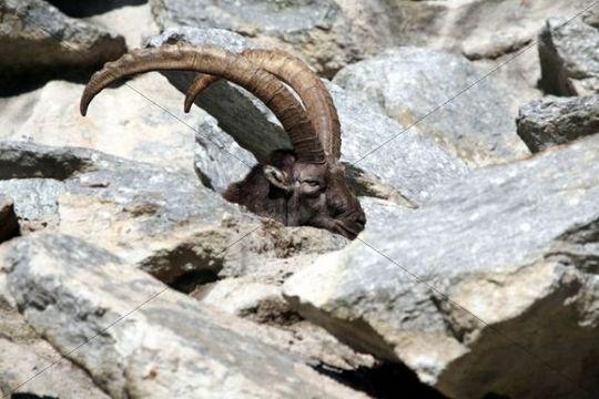 Alpine ibex (Capra ibex), Alpine Zoo Innsbruck, Tyrol, Austria, Europe