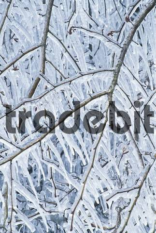 twigs of an appple tree encased in ice and with hanging icicles
