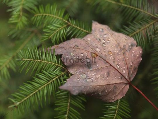 Fallen maple leaf covered with dew drops on balsam fir (Abies balsamea), Ontario, Canada