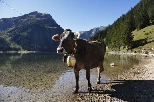 Cow with cow bell, cattle drive on Lake Vilsalpsee at Tannheim, Tannheimer Tal high valley, Tyrol, Austria, Europe