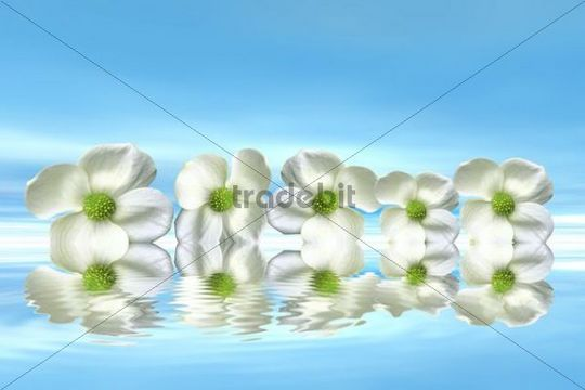 Flowers on the water with mirroring, 3D graphics