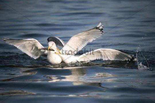 Herring gulls (Larus argentatus), fighting over fish, Mecklenburg-Western Pomerania, Germany, Europe