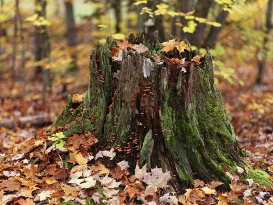Fall nature scenery of a tree stump covered with moss and surrounded by fallen maple leaves, Arrowhead Provincial Park, Ontario, Canada