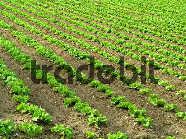 cultivation of salad on a field, rows of salad plants