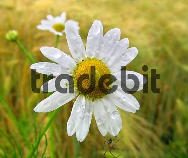 blossom of camomile with water drops in grain field