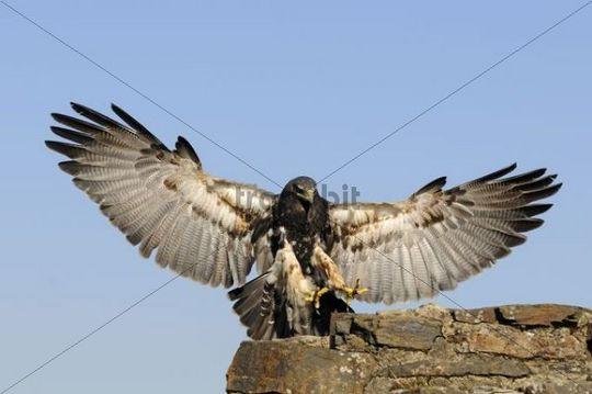 Black-chested Buzzard-eagle (Geranoaetus melanoleucus), landing