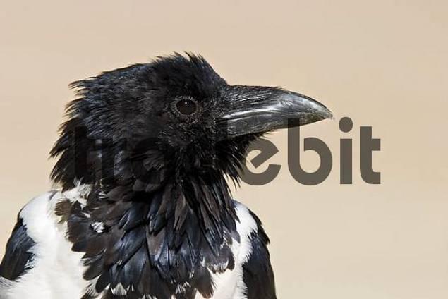 Pied crow, Namibia