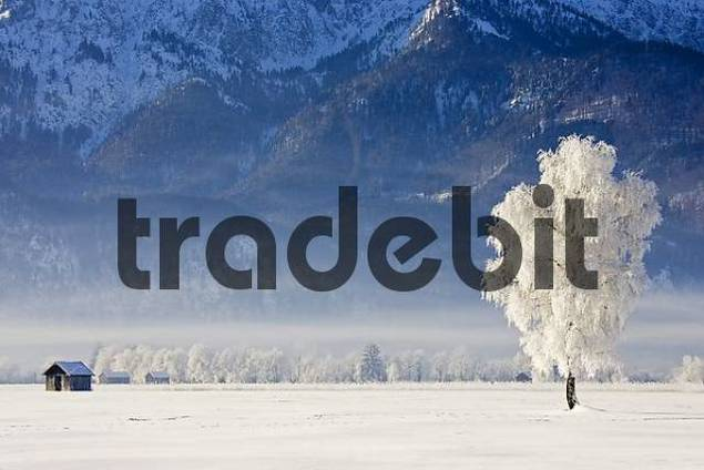 frosty and foggy sunrise in the bavarian mountains alps. Hoarfrost in the trees. Kochelsee Upper Bavaria Germany winter