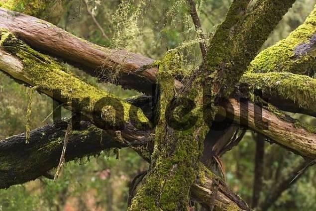 Garajonay National Park laurisilva - La Gomera