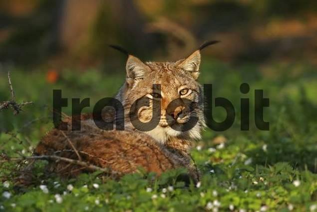 European lynx Lynx lynx
