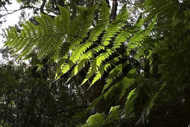 fern - Garajonay National Park laurisilva - La Gomera