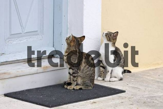 cats are waiting in front of a house entrance for food, Firostefani, Santorini, Greece