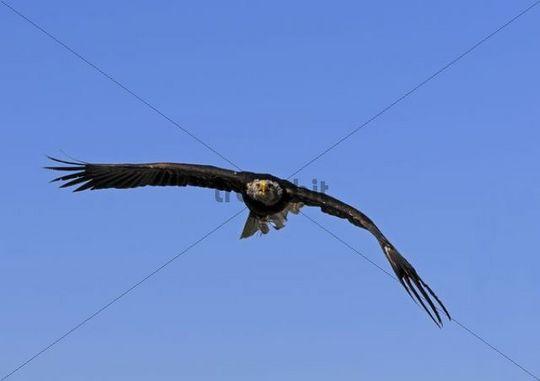 Fish Eagle (Haliaeetus vocifer) in flight