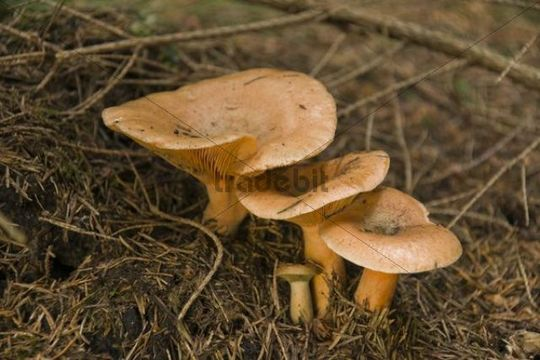 False Saffron Milk-cap (Lactarius deterrimus)