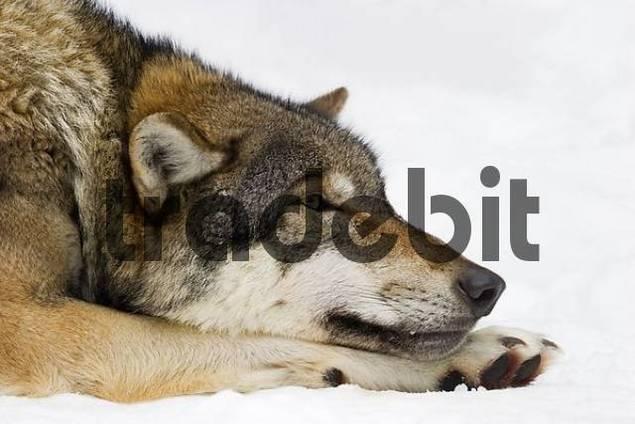european wolf Canis lupus lupus in winter
