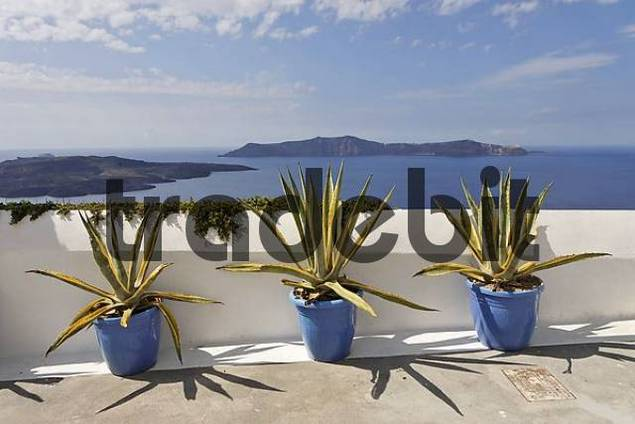 agaves cultivars of agave americana in three buckets, Thira, Santorini, Greece