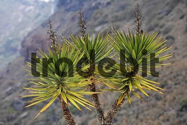 Yucca, Firostefani, Santorini, Greece