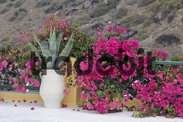 Agave and Bougainvillea Bougainvillea, Oia, Santorini, Greece