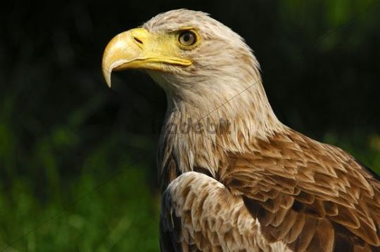 White-tailed eagle, Sea eagle (Haliaeetus albicilla)