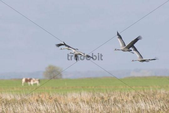 Cranes (Grus grus), Guenz, Mecklenburg-Western Pomerania, Germany, Europe