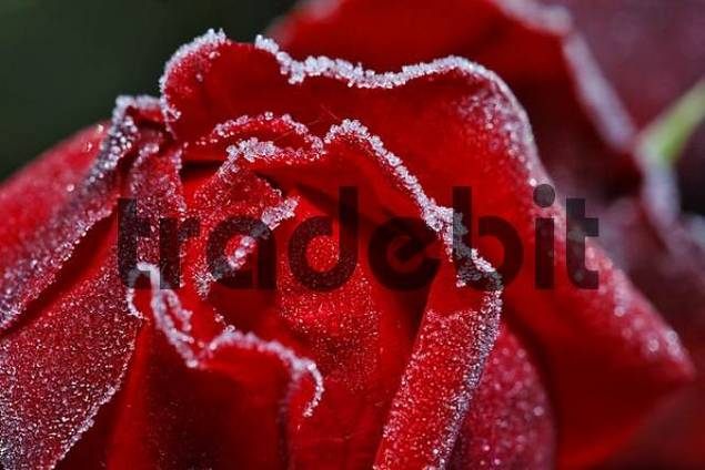 a red rose covered with hoarfrost