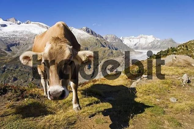 Brown cattle on the alp, in the background the Aletsch Glacier, Valais, Switzerland
