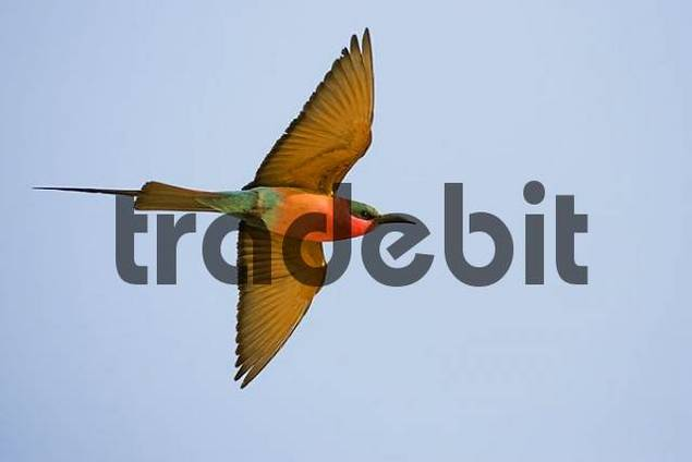 Carmin Bee-eater Merops nubicoides, Zambezi Sambezi, Caprivi, Namibia, Africa