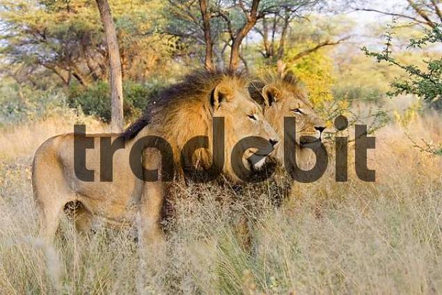 Full-grown lions Panthera leo, male, Namibia, Africa