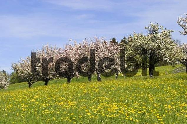 blooming apple trees in field of dandelions - Allgäu - Germany