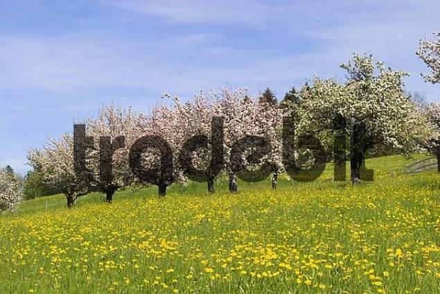 blooming apple trees in field of dandelions - Allgäu - Germany