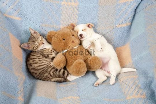 A kitten and a puppy sleeping side by side, lying next to ...