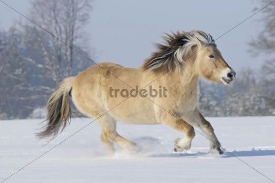 Fjord horse or Norwegian Fjord Horse running in the snow